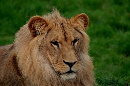 Lion 1 - PARC DE L''AUXOIS©PARC DE L''AUXOIS